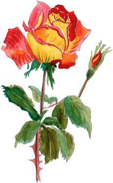 Rose pour la fête des mères